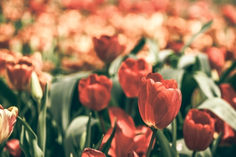 Red Tulips with Macro Lens