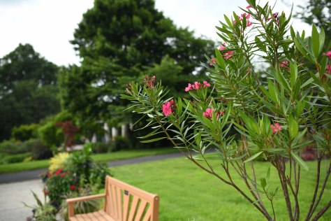 Oleanders over a Bench